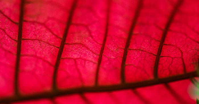 Immagine simbolica con venature di foglia rossain primo piano