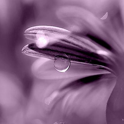 Petalo viola con una goccia di pioggia