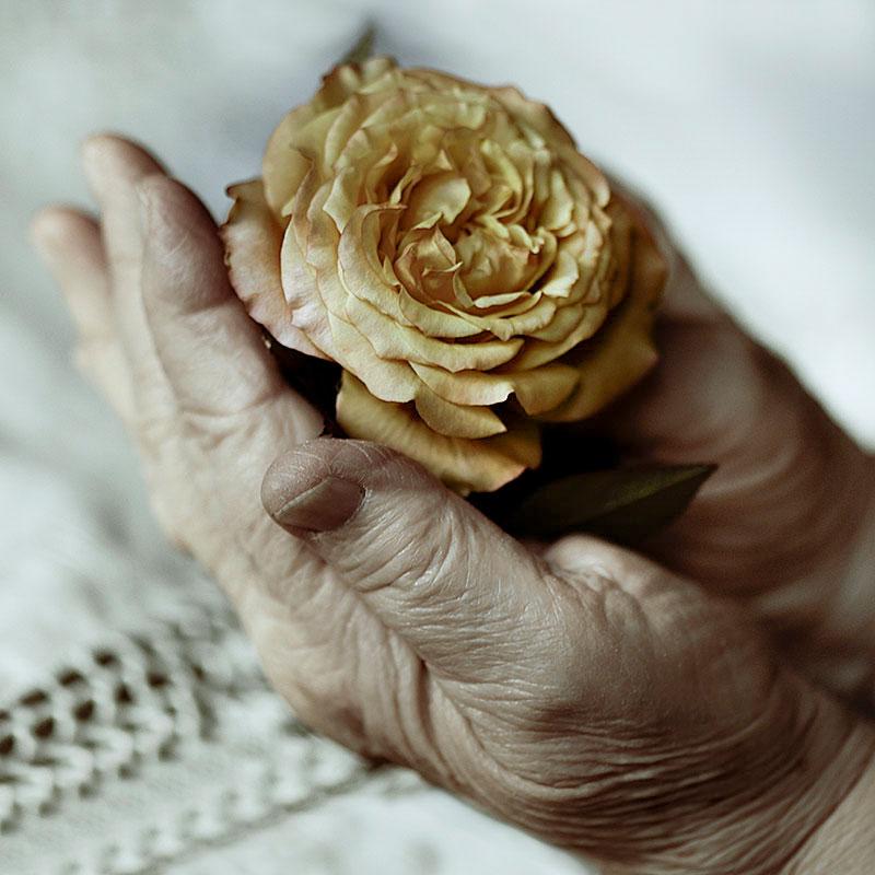 Mani di donna anziana che tengono una rosa gialla